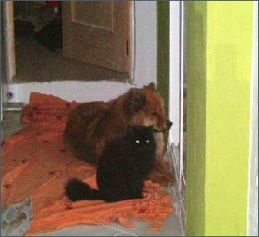 Eurasier with cat