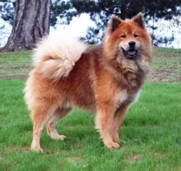 Eurasier stud dog