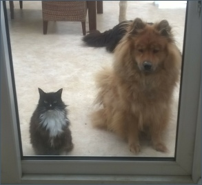 Eurasier with cats