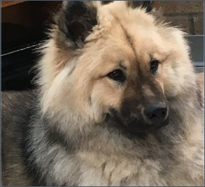 Eurasier girl