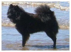 Black Eurasier