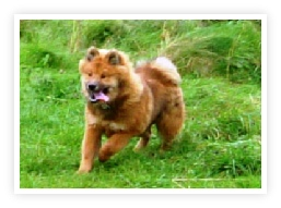 Red Eurasier